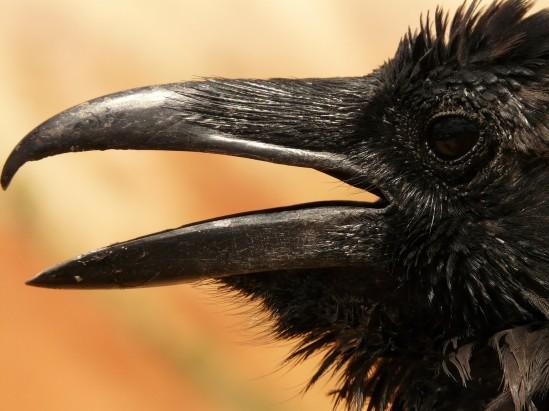 raven-4590_1920