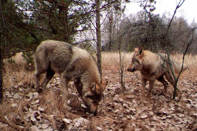 03-Chernobyl-animals.ngsversion.1493139603170.adapt.676.1 (1)